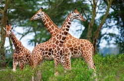 Rotschild's giraffes (Camelopardis Rotschildi) in Lake Nakuru National Park, Kenya