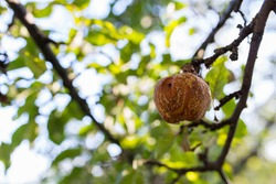 Rotten apple fruit on tree at sunset, shallow depth of field, space for text.