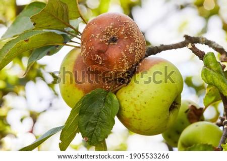 Rotten apple. Fruits Infected by the Apple Monilia fructigena Foto stock ©