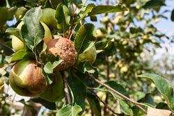 Rotten apple on a tree. Apple tree branch with rotten fruit.