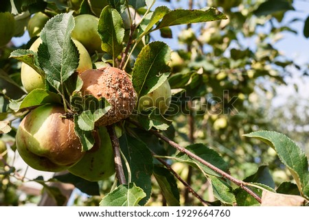 Rotten apple on a tree. Apple tree branch with rotten fruit. Foto stock ©