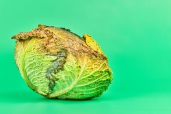 Rotten cabbage, green background. Head of moldy cabbage, copy space. Unsuitable inedible food for cooking.