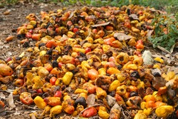 rotten cashew apple were left on ground by farmer after remove cashew nuts from the fruit.