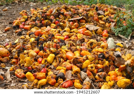 rotten cashew apple were left on ground by farmer after remove cashew nuts from the fruit.                            Foto stock ©