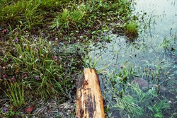 Rotten fallen tree trunk floats in calm water near shore with rich flora. Beautiful driftwood in water among lush flora. Nature background with wooden log, flowers and grasses in mountain lake closeup