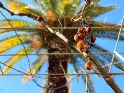 Rotten grapes at a branch with palm tree and blue sky background.