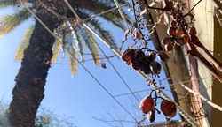 Rotten grapes at branch with blue sky and building house background. Vineyard at home.