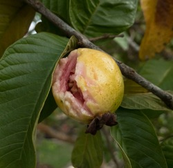 Rotten guava on tree caused by attacking insects