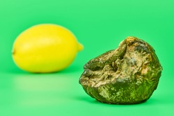 Rotten lemon and fresh lemon compare, green background. Mold putrefied fruit. Unsuitable inedible food for cooking and new fruit comparison.