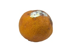 Rotten mandarin orange isolated on white background. Spoilage orange fruit.