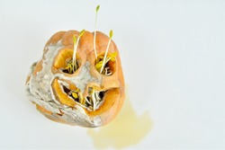 Rotten moldy Halloween pumpkin on a white background .seeds sprouted from the eye sockets and mouth.terrible pumpkin.copy space, soft focus