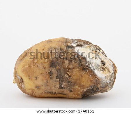 Rotten potato with copy space, isolated on white - stock photo