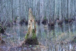 Rotten tree stump with fungus in flooded forest