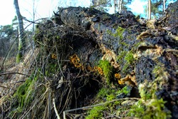 Rotten tree with a line of yellow mushrooms