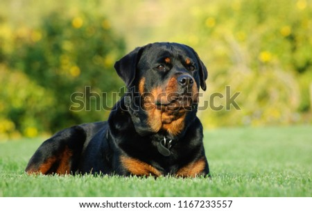 Rottweiler dog outdoor portrait lying down in green grass Zdjęcia stock ©