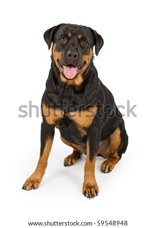 Rottweiler dog sitting down and isolated on white - stock photo