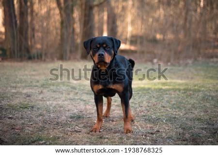 Rottweiler dog stay outdoor near forest Zdjęcia stock ©