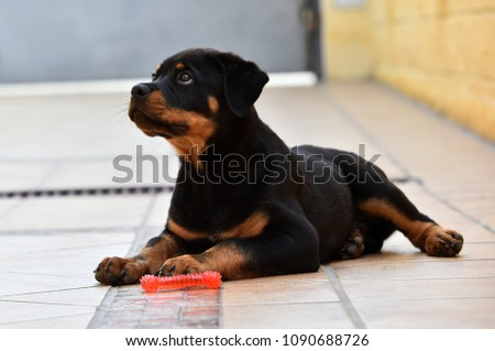 rottweiler in countryside #1090688726