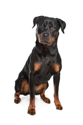 Rottweiler in front of a white background