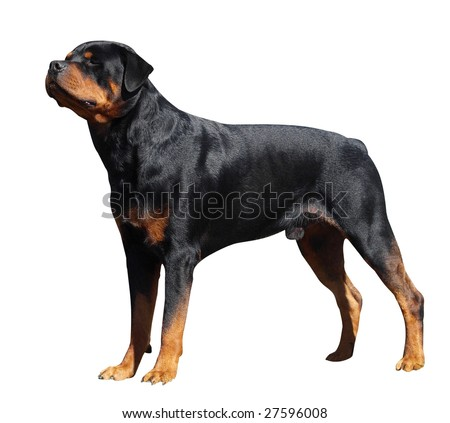 Rottweiler isolated with clipping path