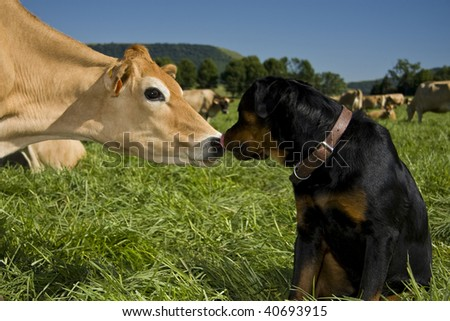 Rottweiler licking inquisitive cow #40693915