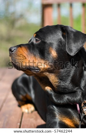 Rottweiler looking to the side