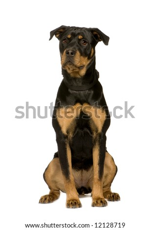 Rottweiler (7 months) in front of a white background