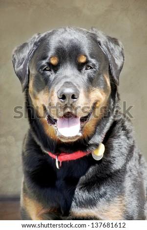 Rottweiler profile portrait