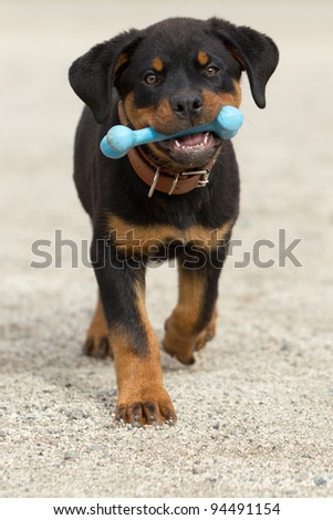 Rottweiler pup holding his play bone