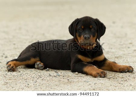 ROTTWEILER PUP POSING, SHOT FROM LOW ANGLE, TYPICAL EXPRESSION OF A CONFIDENT DOG