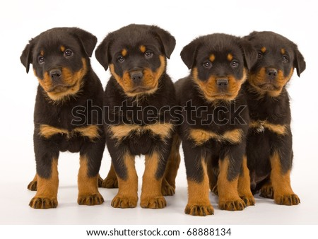 Rottweiler puppies on white