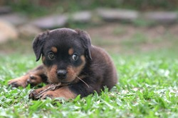 Rottweiler puppy dog chewing dry leaves and sit on grass