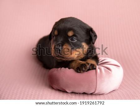 Rottweiler puppy puppies cute dog Zdjęcia stock ©