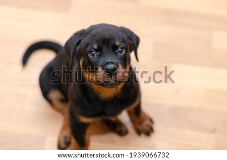 Rottweiler puppy sits on a beige floor and looks at the camera. Cute two month old pet. A funny animal of the German breed. Top view at an angle. Close-up. Selective focus. Zdjęcia stock ©