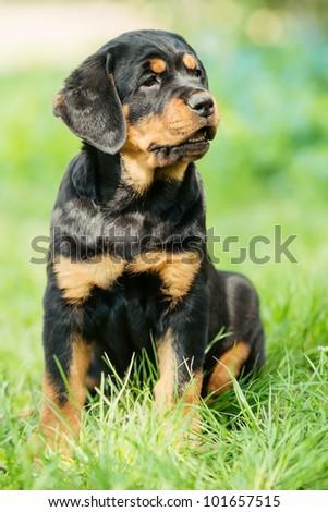 Rottweiler puppy sitting on a grass