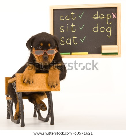 Rottweiler puppy with glasses on school desk with black board