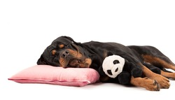 Rottweiler sleeping with stuffed animal