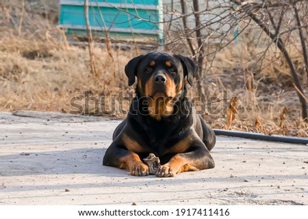 Rottweiler. The Rottweiler is guarding the territory. An adult dog of the Rottweiler breed. Close-up. Rottweiler color. Guard dog on the asphalt. Zdjęcia stock ©