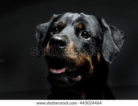 Rottwiler portrait in the black photo studio