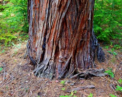 Rotund Cedar Base - A large western red cedar tree in the woods along the Metolius River - near Camp Sherman, OR