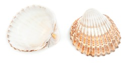 Rough cockle shell (Acanthocardia Tuberculata) isolated on white background.