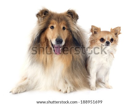 rough collie and chihuahua in front of white background #188951699