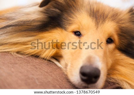 Rough collie cute snout on sofa