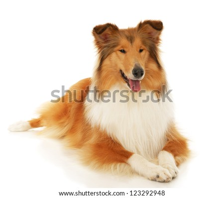 Rough Collie dog on a white background