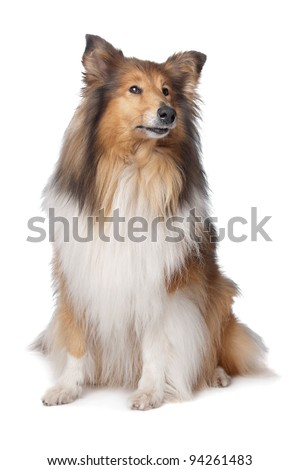 Rough Collie or Scottish Collie in front of a white background - stock photo