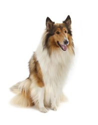 Rough Collie or Scottish Collie isolated on white background