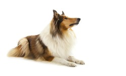 Rough Collie or Scottish Collie isolated over white background
