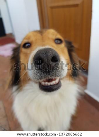 Rough Collie snout pattern