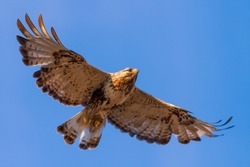 Rough-legged buzzard (Buteo lagopus). Buzzard soars in the sky. Beautiful flying big bird of prey. Wildlife of the Arctic. Chukotka, Far East of Russia.
