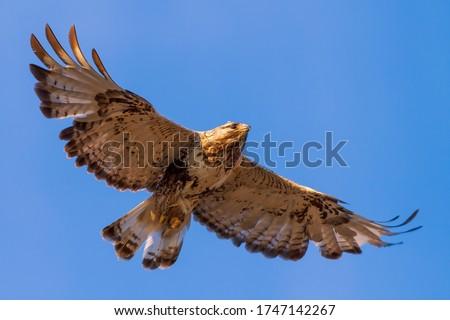 Photo of  Rough-legged buzzard (Buteo lagopus). Buzzard soars in the sky. Beautiful flying big bird of prey. Wildlife of the Arctic. Chukotka, Far East of Russia.